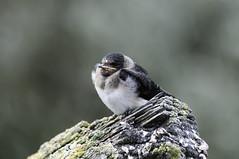 Swallow & Lichen (martytdx) Tags: sanfrancisco ca birds lifelist birding july fremont swallow immature nesting hirundinidae cliffswallow petrochelidonpyrrhonota donedwardsnwr petrochelidon