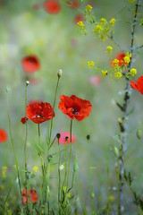 """""""I will find you next Spring..."""" (Ilargia64) Tags: poppies forest garden red blue flowers happiness nextspring spring colorful nature summer bokeh"""