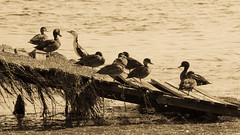 Birds on the ramp (Merrillie) Tags: natural nikon animals nature australia birds ramp d5500 nswcentralcoast cormorant newsouthwales piedcormorant mallards nsw tuggerahlake longjetty wildlife centralcoastnsw sepia lake photography landscape outdoors waterscape water centralcoast ducks outdoor