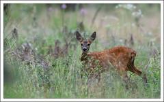 brocard nouvelle gnration, nouveau bois!!! (guiguid45) Tags: nature sauvage animaux mammifres chevrette fort fortdorlans loiret d810 nikon 500mmf4 roedeer ree capreoluscapreolus