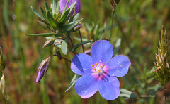 06-070505 Spanien 5 012 (hemingwayfoto) Tags: andalusien blhen blte blau blume cotadonana europa nationalpark radtour reise spanien