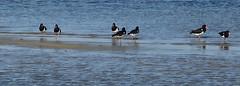pied oystercatchers on small sand island (annieb) Tags: birds altona