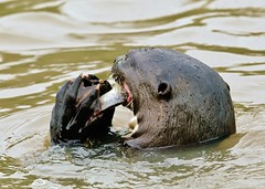 Giant River Otter, The Pantanal, Brazil (Susan Roehl - Offline) Tags: brazilsept2012 thepananal brazil southamerica giantriverotter eatingcatfish cropped mustelidae canreach56feet socialspecies dominantbreedingpair veryterritorial diurnal noisydistinctvocalizations sueroehl photographictours pentaxk7 sigma150500mmlens