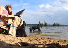 7549 (Jean Arf) Tags: sandlake ontario canada summer 2106 beach lake astrid poodle dog drink water standardpoodle scarlet bernese mountain john