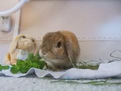 """What?"" *Ben* (Seattle Roll) Tags: rabbit bunny hollandlop orange"