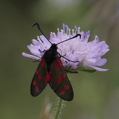 IMGP5995 Six-spot Burnet Moth, Devil's Dyke (Reach, Cambs), July 2016 (bobchappell55) Tags: insect devilsdyke cambridgeshire grassland sixspotburnet moth scabious