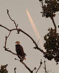 Vito the bald eagle at sunset - Staten Island, New York (superpugger) Tags: statenislandbaldeagles bald eagles baldeagles newyorkcitywildlife lawrencepugliares lpugliares