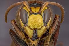 Hornet (Kuvvet) Tags: bee hornet horneybee macro macrophotography beemacro bugmacro insectmacro focusstacking canoneos70d canonmpe65mmf28