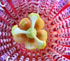 Passion flower ( Graa Vargas ) Tags: passionflower flordemaracuj passifloracaerulea passiflora flower graavargas2016allrightsreserved macro graavargas 8105050816