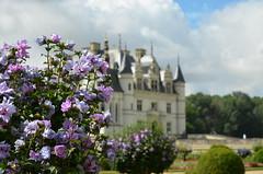 Hibiscus park at Chenonceau castle (dfromonteil) Tags: castle chateau chenonceau fleur flower hibiscus tree park nature violet pourpre purple bokeh blue sky clouds nuages ciel garden jardin