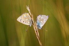 "Couple ""Polyommatus icarus"" at sunset - Couple ""Argus bleu"" au soleil couchant (Sbastien Vermande) Tags: canon7d france midipyrnes lot bokeh macro spring printemps macrophotography insect insecte nature wild insectmacro macrolens macrophotographie papillon butterfly mariposa farfalla sigma150macroexdg sigmaapoteleconverter14xexdg vermande"