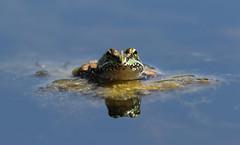 Frogbert's front (Cosper Wosper) Tags: iberianwaterfrog pelophylaxperezi hamwall somerset levels perezsfrog
