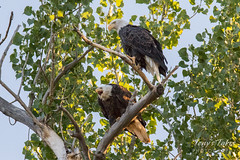 August 13, 2016 - Bald Eagle pair in Jefferson County. (Tony's Takes)