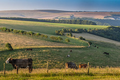 Early morning near Ditchling Beacon (lloydlane) Tags: amex ditchling beacon brighton seagulls cow field south downs country countryside