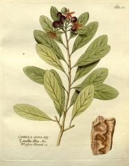 Anglų lietuvių žodynas. Žodis canella-alba reiškia <li>canella-alba</li> lietuviškai.