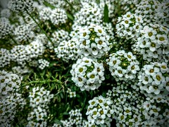 White Sweet Alyssum (Water_Maiden) Tags: flowers white nature shrub outdoors flower blossom plant outdoor alyssum