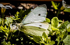 Spring brings the  cabbage white (dmunro100) Tags: cabbage white pierisrapae canon eos 80d macro canonef100mmf28lmacroisusm spring