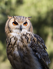 Huhu... (michel1276) Tags: eule uhu owl tier vogel earthnaturelife