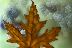 Autumn time 0.14 (bresciano.carla) Tags: pentaxart trioplan100mm bokeh autumn manuallens vintage leaf bubbles light