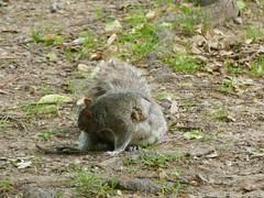 Central Parc - Manhattan - New York - tats-Unis (vanaspati1) Tags: central parc manhattan new york tatsunis sciurus carolinensis sciuridae cureuil gris eastern gray squirrel