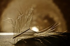 Broken (Zsofia Nagy) Tags: backlight backlit macromondays feather depthoffield serene abstract texture