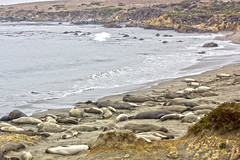 Elephant Seal Rookery - Big Sur (California) (U2iano) Tags: elephant seal rookery big sur california usa eeuu elefantes marinos