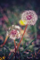 ~stillschweigend~ (***étoile filante***) Tags: dandelion dandelionseeds pusteblume flowers blumen nature natur poetic poetisch emotions emotional dream traum dreamy macro dof bokeh makro wiese meadow details colors farben