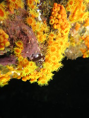 Yellow sea anemones (roger_forster) Tags: yellow seaanemone parazoanthus axinellae diving underwater scuba pico azores