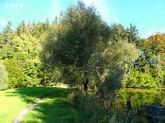 Weide am Widdumer Weiher - Salix on Widdum Pond (warata) Tags: 2016 deutschland germany sddeutschland southerngermany schwaben swabia oberschwaben upperswabia schwbischesoberland bayern allgu bayerischesallgu alpenvorland oberallgu see lake pond weiher widdumerweiher widdum nsg florafaunahabitat salix weide