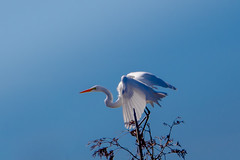 Another one of my Great Egrets from this Past Summer (Michael Bateman) Tags: bird greategret wildlife lakeann michigan unitedstates us