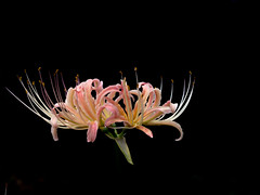 (Polotaro) Tags: mzuikodigital45mmf18 flower nature olympus epm2 pen      9