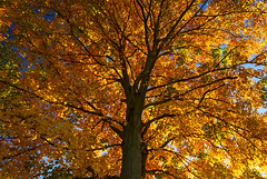 Fire in the Sky (Matt Champlin) Tags: friday tgif tree amazing fire beautiful autumn foliage fall leaf leaves maple ny canon 2016 life nature peace peaceful outdoors