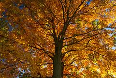 Fire in the Sky (Matt Champlin) Tags: friday tgif tree amazing fire beautiful autumn foliage fall leaf leaves maple ny canon 2016 life nature peace peaceful outdoors