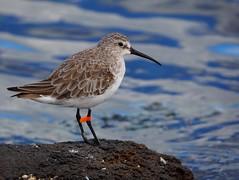 Curlew sandpiper (Hone Morihana) Tags: westerntreatmentplant shorebirds migratorybirds curlew sandpiper