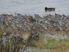 Dunlins (misiekmintus) Tags: vancouver bc britishcolumbia canada birds birding bird birdwatching pacificnorthwest nature natur naturaleza northwest blackiespit delta dunlin calidrisalpina