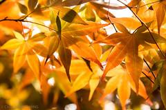 IMG_5484.JPG (David Chien 的相片集) Tags: autumn leaves red yellow orange 秋 紅 葉