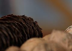 Brown tones (Goruna) Tags: brauntne brown walnut walnuss tannenzapfen pinecone fircone goruna