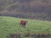alone on the marshes (mark.griffin52) Tags: olympusem5 england norfolk holkham mist alone cattle bullock cow marshland