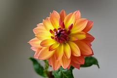 Still in flowering (marko.erman) Tags: flower flowering dahlia macro focusstitching sony beautiful color yellow orange