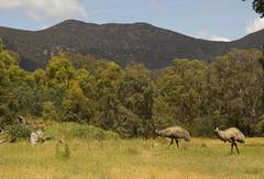 Emus roaming at the Tidbinbilla Nature Reserve, Canberra (Anna Calvert Photography) Tags: trees birds landscape bush reserve australia naturereserve environment emu canberra tidbinbilla