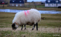 Black Faced Sheep (mootzie) Tags: grass paint sheep mark horns curly croft loch wooly