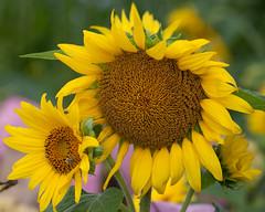 _MG_0567 (Mary Susan Smith) Tags: yellow garden farm ottawa sunflowers cy2 challengeyouwinner centralexperimentalfarm cychallengewinner