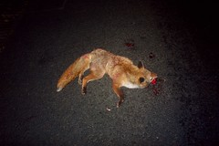 FOX (Sibokk) Tags: uk digital death la scotland edinburgh mort panasonic fox beasts dmc gf1