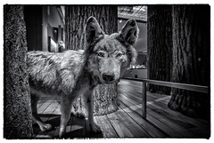 Wolf Of Newcastle (Stephen Reed) Tags: newcastle nikon wolf tamron1024mm lightroom4 silverefexpro2