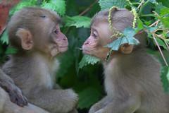 Staring contest (Masashi Mochida) Tags: baby snow japan monkey nagano jigokudani