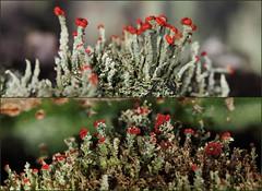 Lichen - Cladonia cristatella (Brissy Girl - Jan Anderson) Tags: australia lichen cladoniacristatella fruticoselichen seqld britishsoldierlichen familycladoniaceae orderlecanorales
