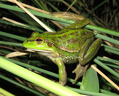 Southern Bell Frog (Litoria raniformis) (Heleioporus) Tags: bell melbourne victoria frog southern litoria raniformis