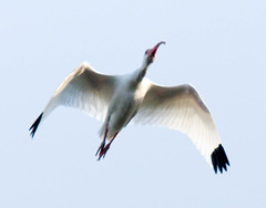 _AAC3230.jpg (Lake Worth) Tags: bird nature birds animal animals canon wings florida wildlife feathers wetlands everglades waterbirds southflorida 2xextender sigma120300f28dgoshsmsports