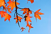 Red Autumn Leaves (Lojones13) Tags: autumn red fall nature leaves canon eoskissx3