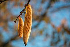 Autumn leaves (Flimin) Tags: autumn leaves autumnleaves challengeyouwinner canon70d